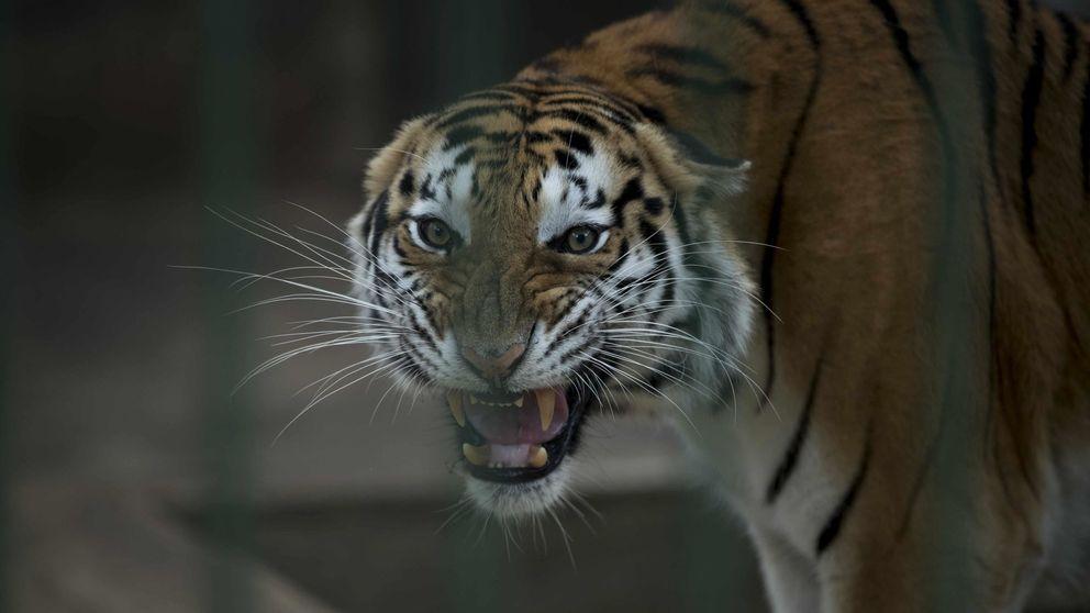 Un tigre en el zoológico del Bronx desarrolla tos seca y da positivo por coronavirus