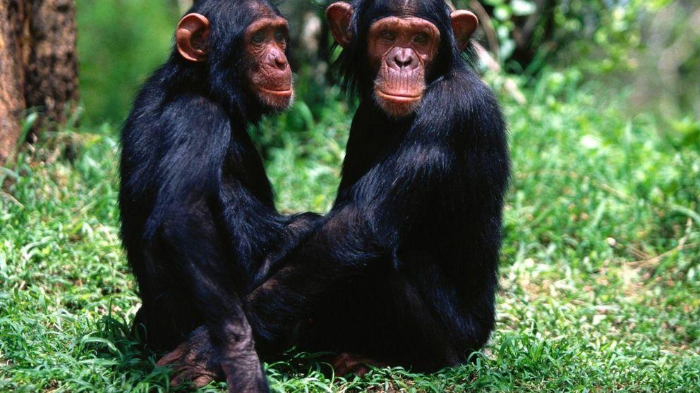 Los chimpancés, como los humanos, confían en sus amigos