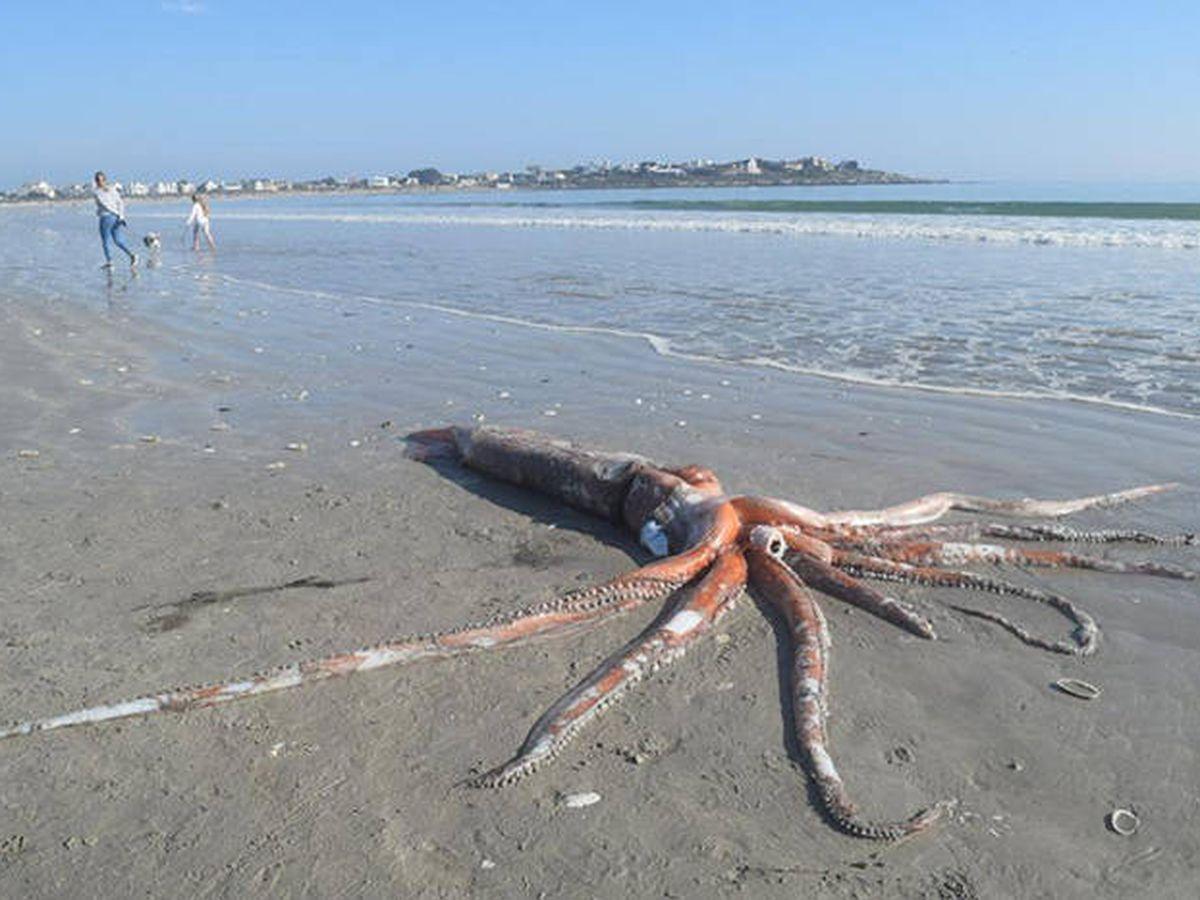 Foto: El calamar gigante encontrado en Sudáfrica. Foto: Adele Gross e Iziko Museums of South Africa