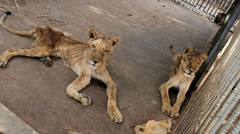 Alarma por los leones de un zoo de Sudán: se están muriendo de hambre
