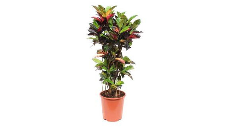 Plantas de interior Croton de muchos colores