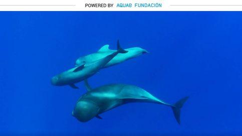 Calderón tropical, el cetáceo más rápido en las profundidades del mar