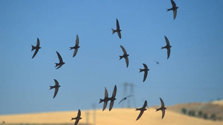 las poblaciones de vencejo común, elegido Ave del Año 2021, estan en declive (Foto: SEO/Birdlife)