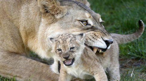 Las hembras de los mamíferos en libertad viven más que los machos