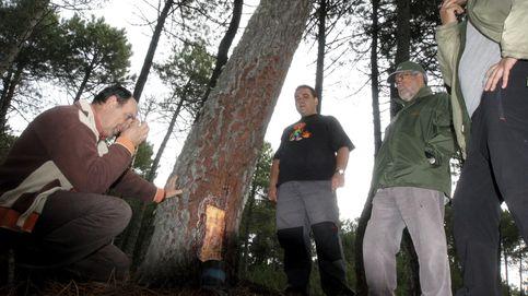 Los resineros vuelven a los pinares en un sector que renace en España