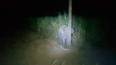 Una cría de elefante intenta esconderse detrás de una farola para que no le vean