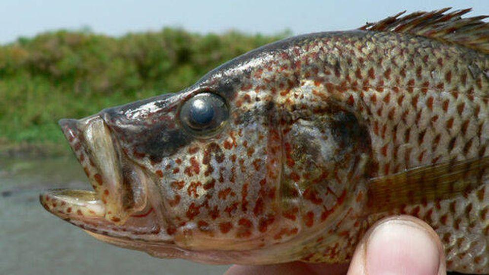Los peces 'cíclidos' hembra se 'equivocan' al aparearse y generan nuevas especies