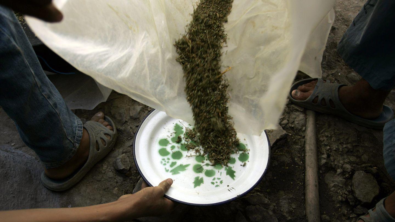 Un hombre usa un plato para recoger plantas de marihuana en Chefchauen (Reuters).