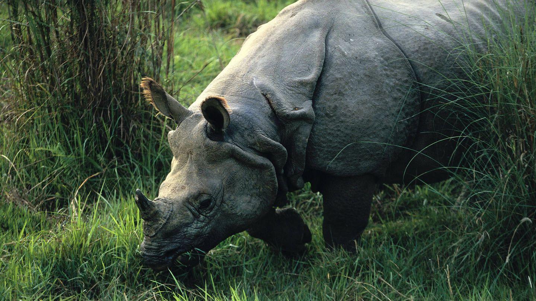 Rinoceronte indio. (Andoni Canela)