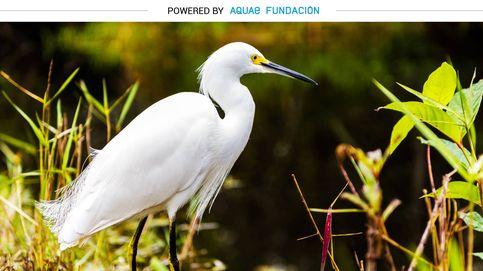 La garceta, un ave admirada y perseguida por un plumaje blanco usado para sombreros