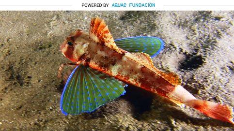 Un pez con alas azules y patas para caminar