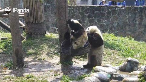 El juego de dos pandas en un columpio