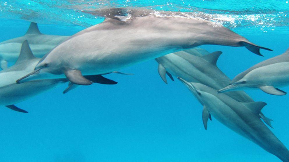 Un algoritmo para canciones distingue la voz de los delfines