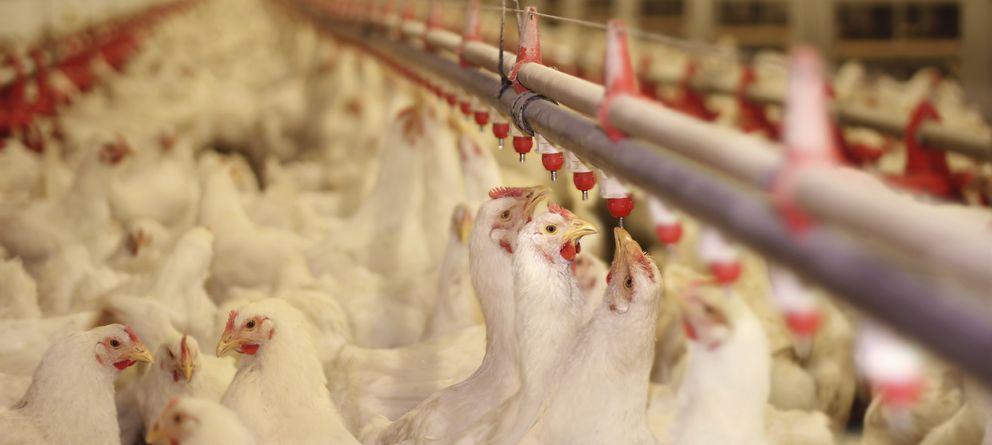 Foto: Las empresas aviares americanas han sido objetivo de un reportaje que levantará ampollas. (iStock)