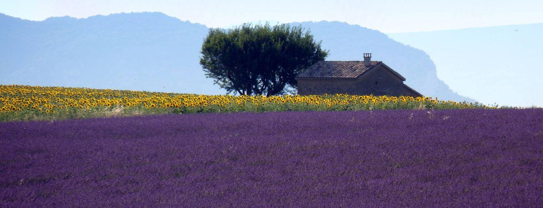 Foto: Violetas y amarillos, los colores propios de la vegetación de la Provenza