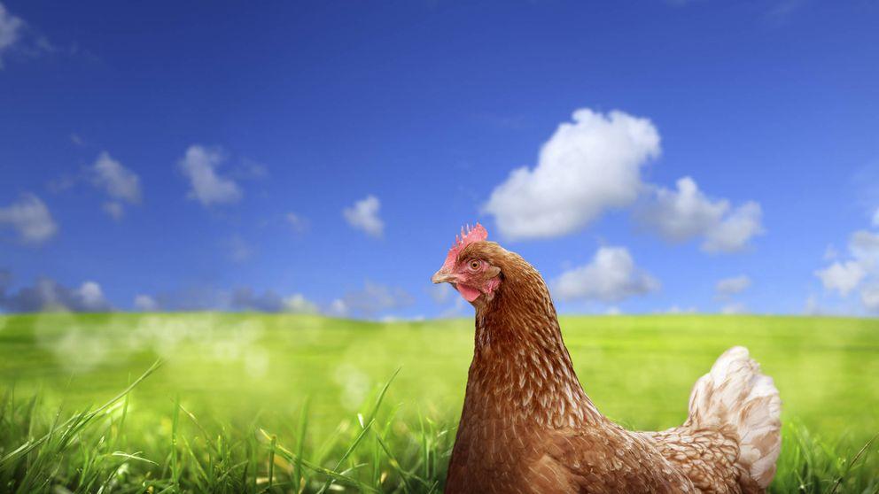 ¿Son los huevos de gallinas criadas en libertad más ricos, saludables y éticos?