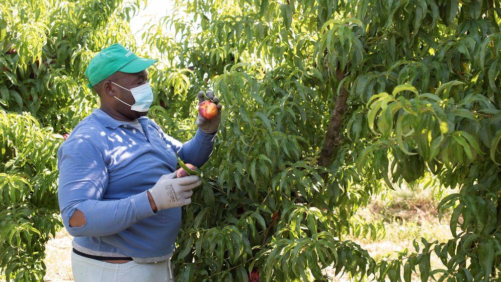 Foto: Un temporero de fruta trabaja este martes en una finca de la localidad de Zaidín, Huesca. (EFE)