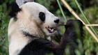 Primera cría de oso panda gigante que nace en Corea del Sur