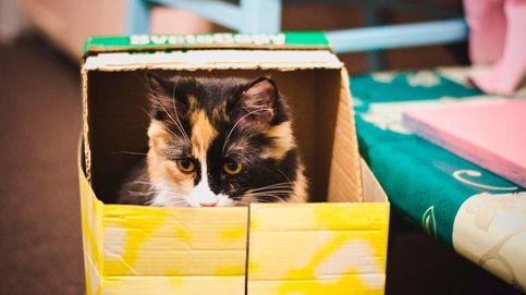 Por qué los gatos aman las cajas de cartón y no tus juguetes, según la ciencia