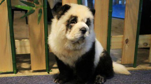 El dueño de un polémico bar de China transforma a sus perros en pandas