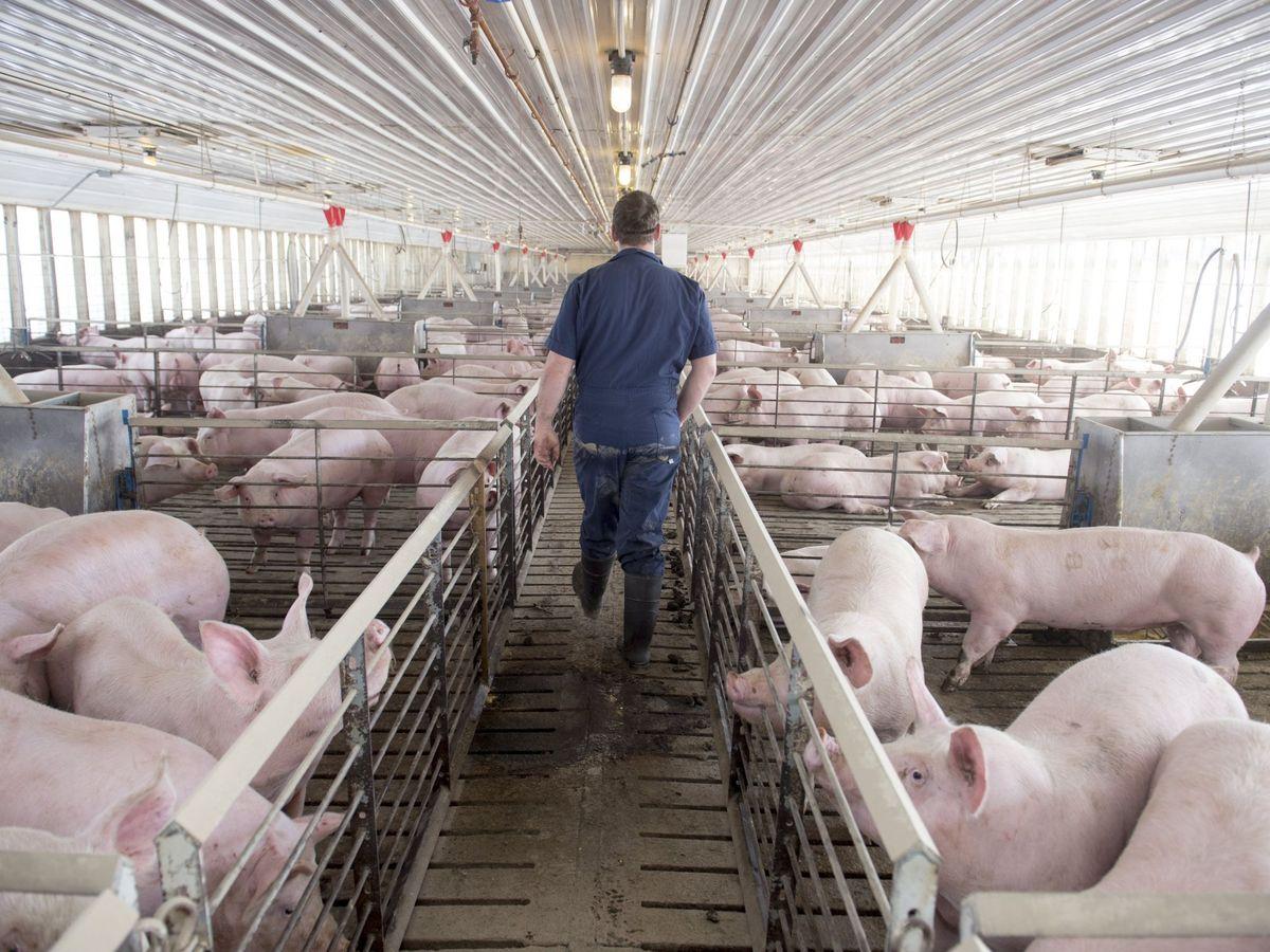 Foto: Una granja de cerdos. (EFE)