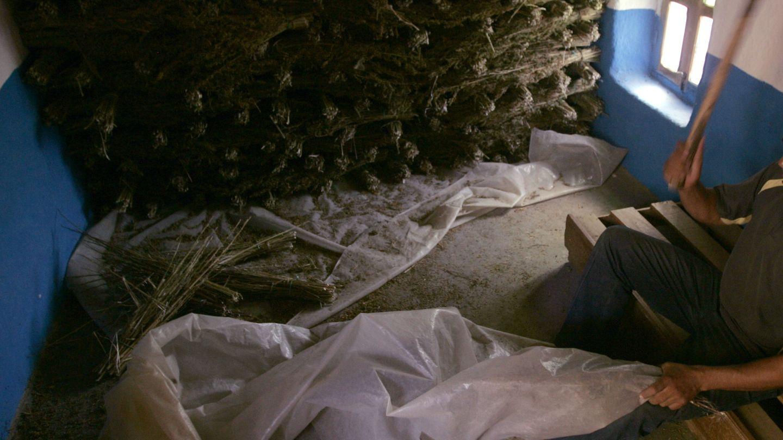 Un granjero golpea las plantas para obtener resina de hachís en Chefchauen (Reuters).