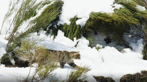 La nieve delata al gato montés durante el día