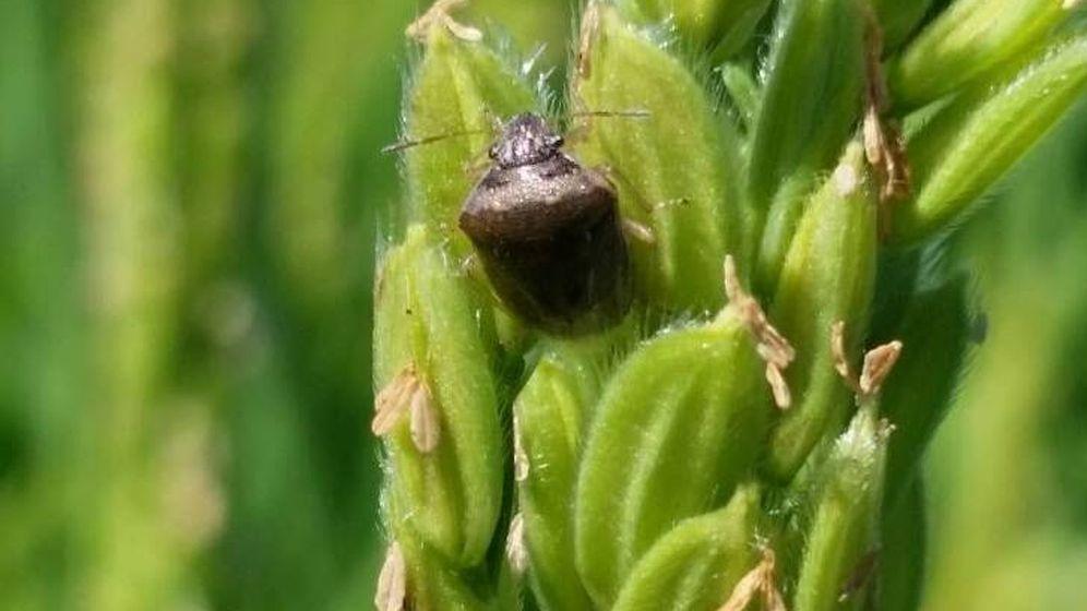 Foto: Una pudenta, posada en una planta de arroz en los arrozales de Sevilla. (Arroces de Doñana)