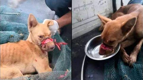 Un perro sobrevive dos semanas con cinta de embalar alrededor del hocico