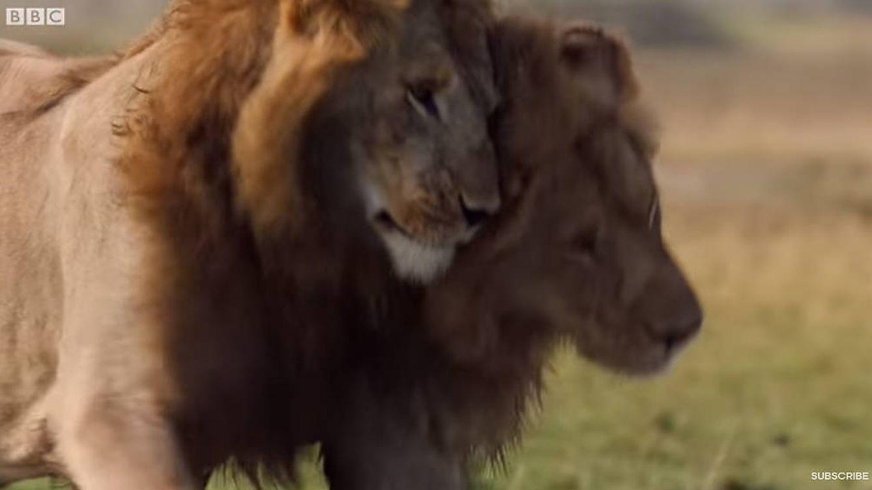 Un león salva a su mejor amigo de morir devorado por una manada de hienas