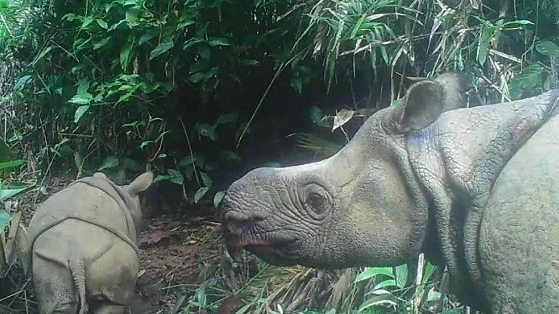 Avistan dos crías de rinoceronte de Java, uno de los mamíferos más amenazados