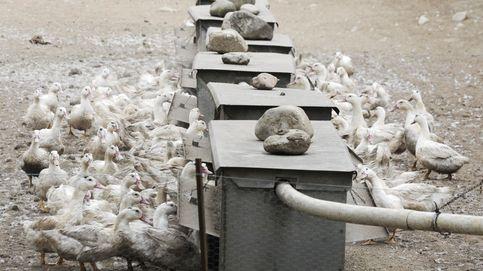 Localizada una segunda granja de patos con gripe aviar en Francia, a 50 km del País Vasco