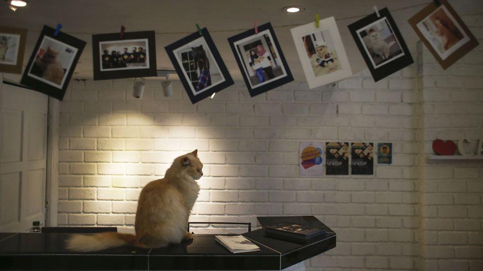 Foto: Un gato descansa frente a una serie de fotografías de felinos. (EFE)
