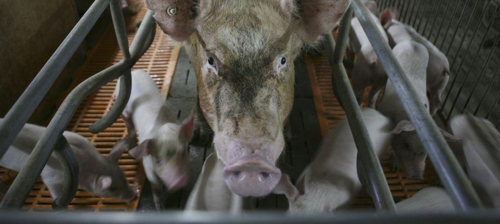 Foto: Imagen de archivo de una granja de cerdos (Reuters).