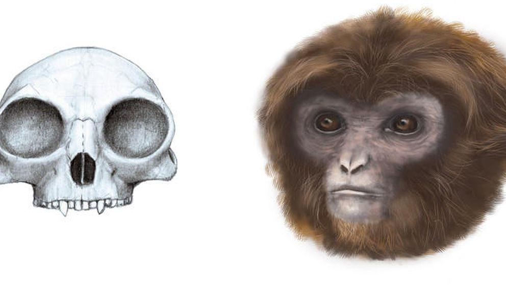 Un mono catalán extinto da pistas sobre la evolución de los simios