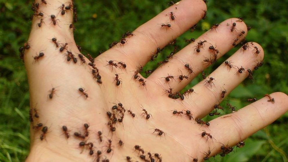 Así evitan las hormigas los atascos (la ciencia tiene la respuesta)