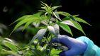Interceptan laboratorios de marihuana que abastecían a parte de la demanda europea