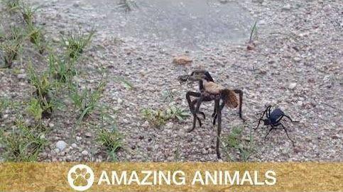 La lucha a muerte entre una tarántula y una avispa
