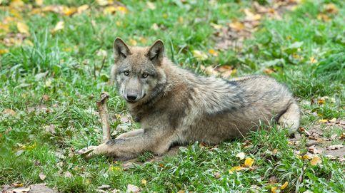 Idaho aprueba un proyecto de ley por el que sacrificará al 90 por ciento de sus lobos