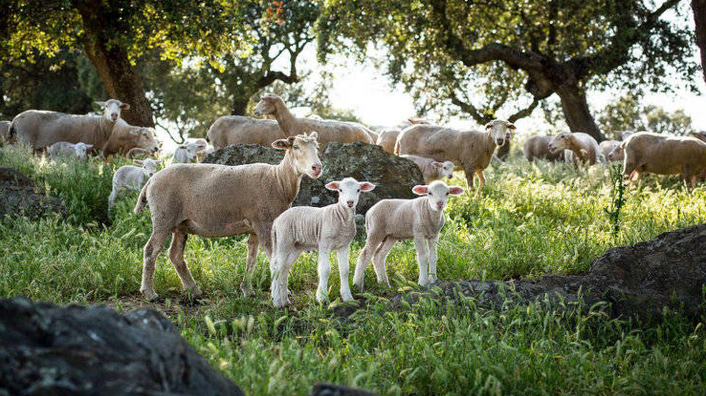 Las ovejas que dan la leche para el queso. (Foto: Finca Pascualete)