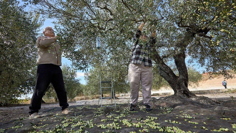 Los brotes en Lleida o Huesca no son nada para lo que puede ocurrir con la aceituna