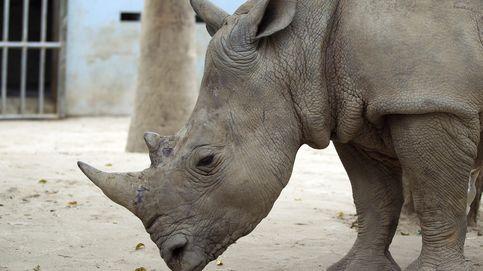 Cuernos falsos, la peculiar iniciativa para salvar de la extinción al rinoceronte