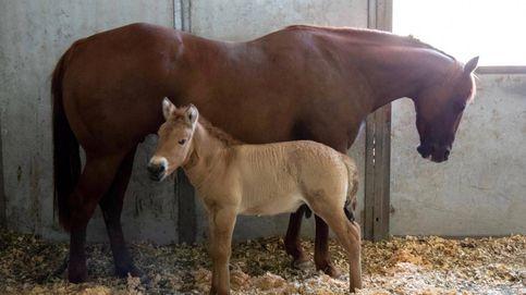Logran clonar una raza de caballo en peligro crítico de extinción