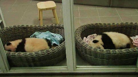 El zoo de Bélgica presenta a dos crías de panda