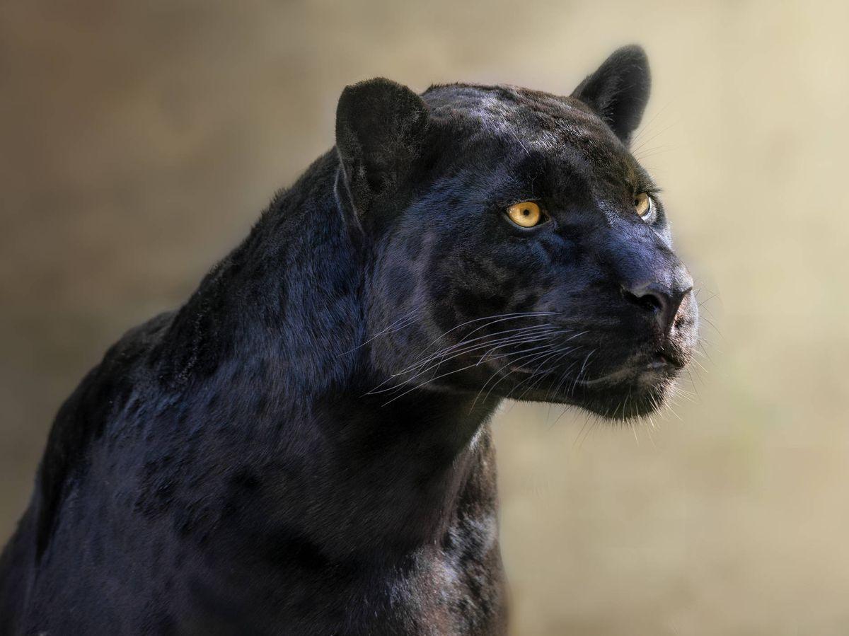 Foto: Una pantera negra - Archivo. (iStock)