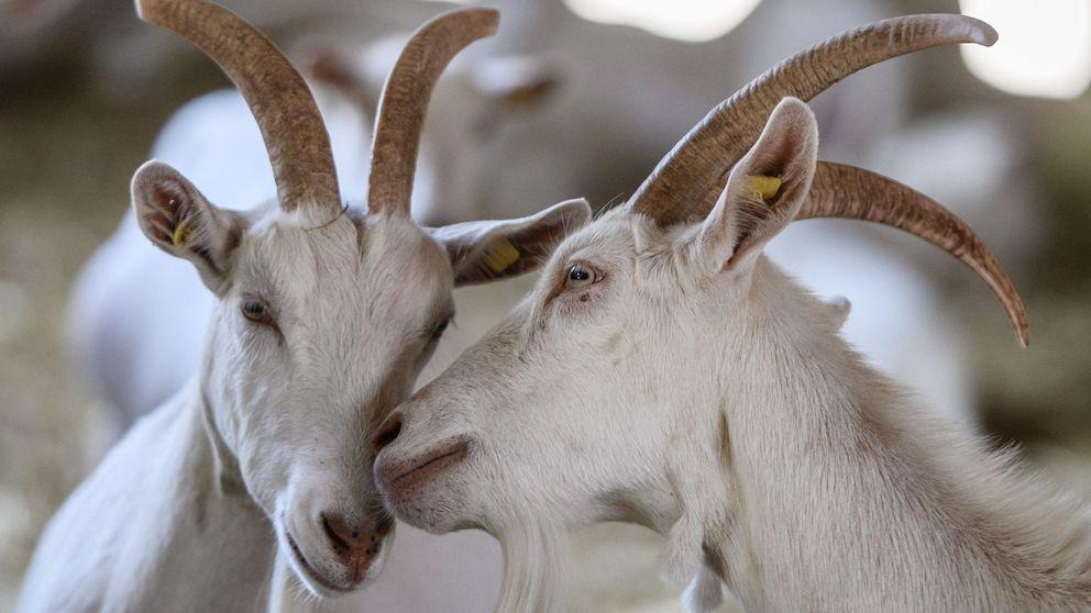 Cabras, el arma secreta contra los incendios en California