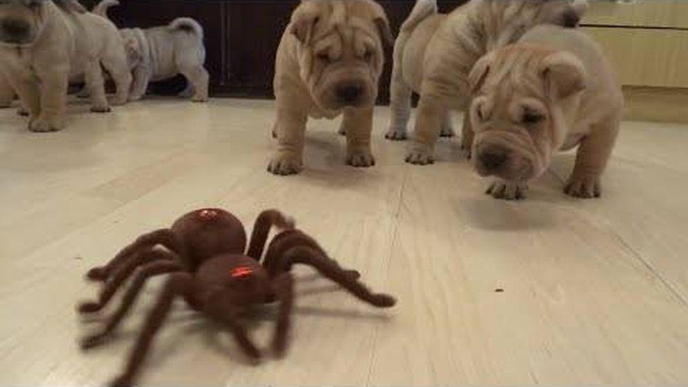 Tremenda expectación de crías de bulldog al ver una enorme araña
