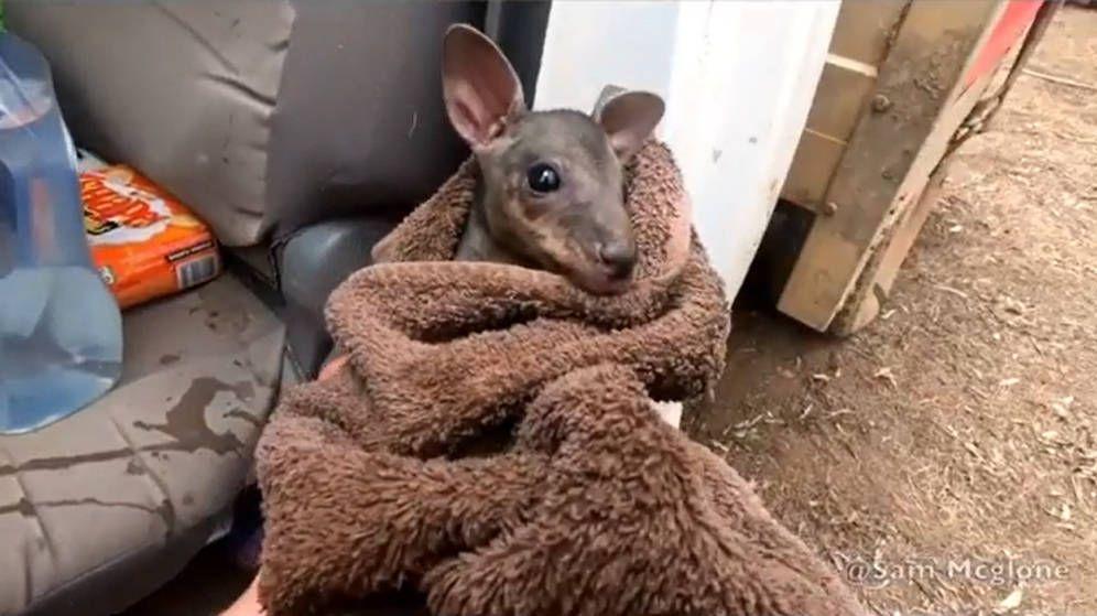 Foto: El canguro apenas tiene unos días de vida y cabe completamente en la mano del bombero (Foto: Instagram)