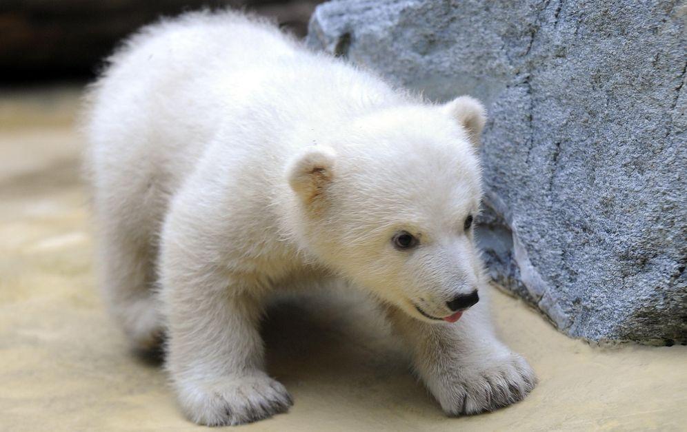 Foto: Objetivo de las cámaras de medio mundo, el oso polar murió a los 4 años de edad en el Zoo de Berlín. (Marius Becker / Corbis)