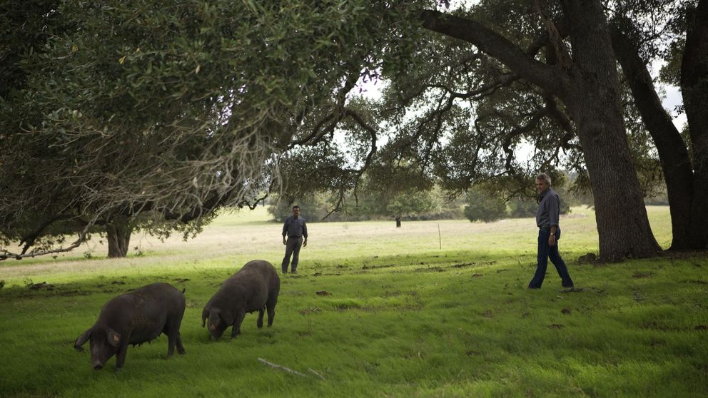 Cerdos ibéricos 'made in' Estados Unidos
